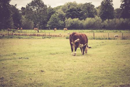 レイコック村, ウィルトシャー州, イングランド, イギリスに近い田園地帯で放牧牛