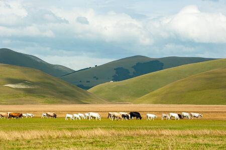 norcia: Cows grazing in Castelluccio di Norcia Stock Photo