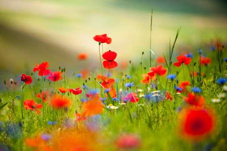 spontaneous: spontaneous composition of poppies