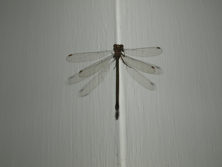 libellula: Libellula or dragonfly resting on the corner of a wall