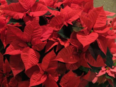 christmas star: Stella di Natale rosso Poinsettia Euphorbia pulcherrima fiori