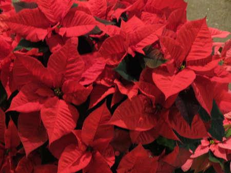 pulcherrima: Stella di Natale rosso Poinsettia Euphorbia pulcherrima fiori