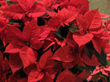 pulcherrima: Red Christmas star Poinsettia Euphorbia pulcherrima flowers