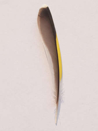 passerine: Piuma di Siskin euroasiatico Spinus Spinus uccello passeriforme aka siskin europeo o siskin comune