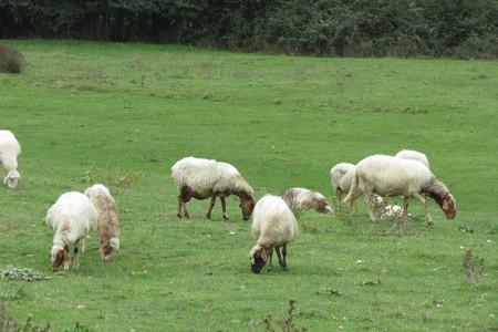 ruminant: Sheep quadrupedal ruminant mammal animal flock pasturing on the grass