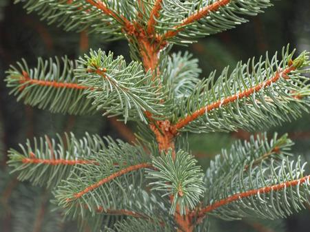 pinaceae: Pine (conifer of genus Pinus, family Pinaceae) tree