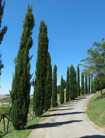 chiantishire: Cypress (Cupressus sempervirens) trees landscape in Tuscany