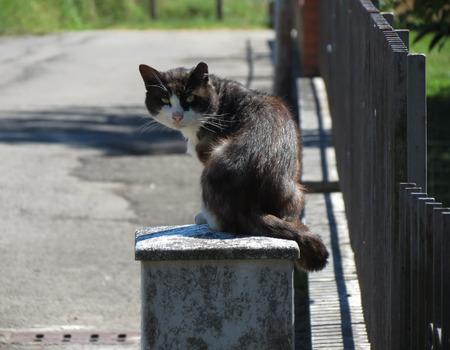 felis silvestris catus: Black and white Domestic cat domesticated housecat aka Felis catus or Felis silvestris mammal animal