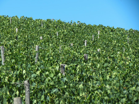 chiantishire: Grapevine in the area of Chianti for producing red wine
