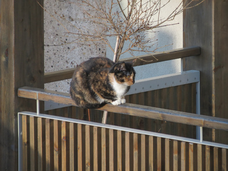 felis silvestris catus: domestic cat domesticated housecat aka Felis catus or Felis silvestris mammal animal