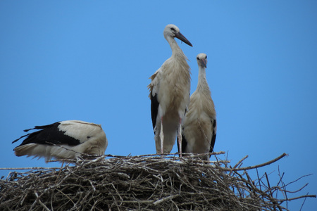 three white storks standing in a nest Stock Photo