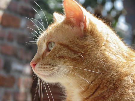 a cute red or orange tabby cat