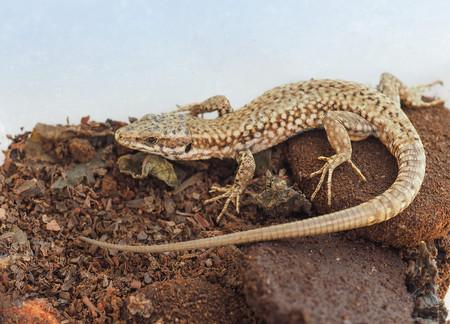 lizard (Lacertilia) reptile animal over brown undergrowth Stock Photo