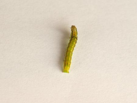 Golden Twin-spot moth (Chrysodeixis chalcites) larva over white background Stock Photo
