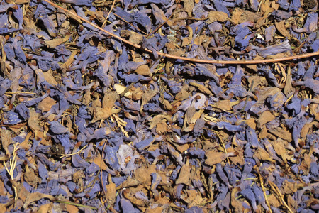 violet autumn leaves fallen useful as a background