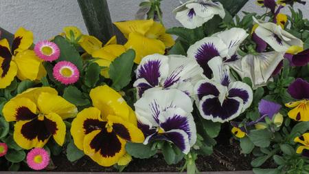 garden pansies (Viola Melanium) aka Viola tricolor Archivio Fotografico - 111211834
