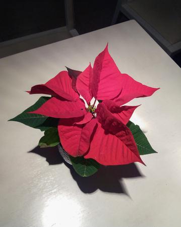 red flower of plant christmas star (Poinsettia Euphorbia pulcherrima) Фото со стока