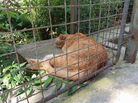 orange domestic tabby cat housecat (Felis catus) animal of phylum Chordata, class Mammalia (mammals) Stock Photo
