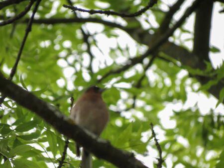 European robin (Erithacus rubecula) animal of phylum Chordata, clade Ornithurae, class Aves (birds) Imagens