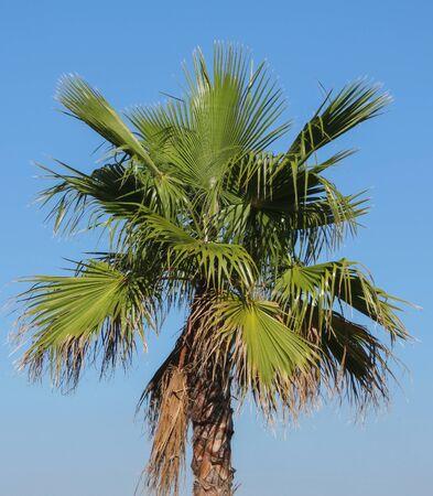 palm tree (Arecaceae) tree against blue sky background
