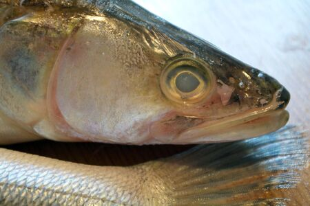 pikeperch: fresh pike-perch fish