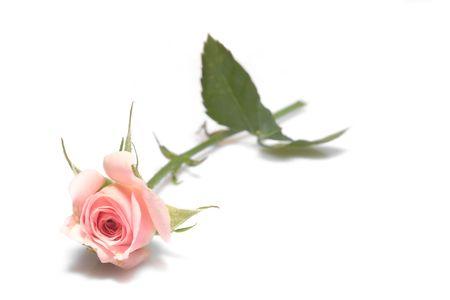 valentines day rose background photo