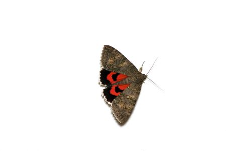 catocala: butterfly isolated Stock Photo