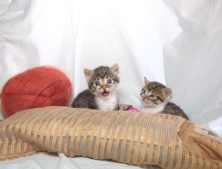 clew: two small striped kittens and the clew