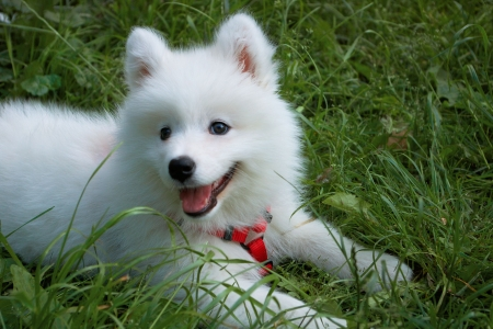 Young Samoyed dog in the grass Stock Photo