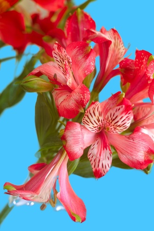 Beautiful spring flower. Known as Peruvian Lily or Alstromeria (shallow deep of fields)