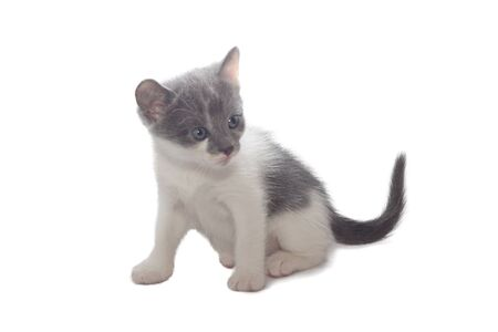 Grey kitten, isolated over white background