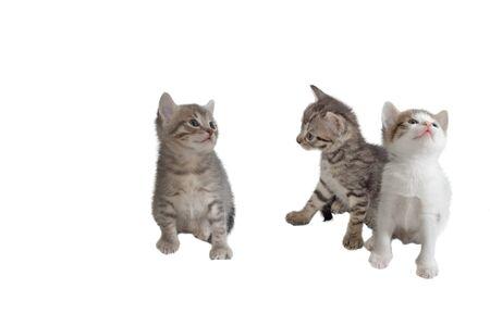 Three gray kitten, isolated over white Stock Photo - 8925838