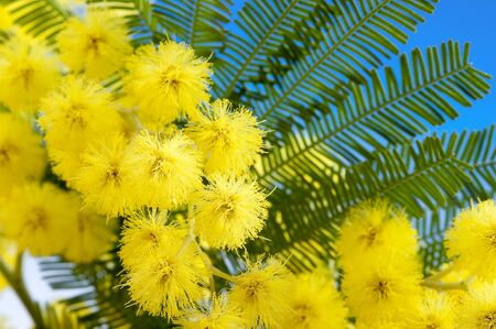 close up yellow mimosa flowers