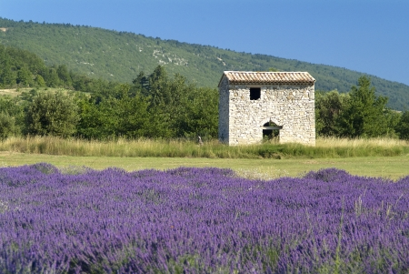 Provance,France,Europe,lavender fields