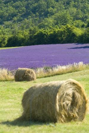 Provance,France,Europe,lavender fields