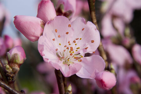 pink peach flowers, a close up with sun
