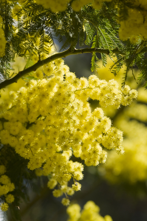 mimosa flowers