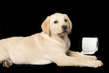 Beautiful Labrador retriever, champagne colored, isolated on black background Stock Photo