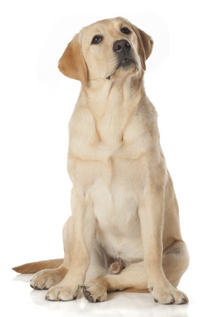 Beautiful Labrador retriever, champagne colored, isolated on white background