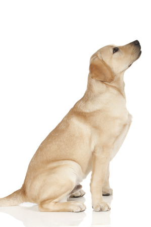 Beautiful Labrador retriever, champagne colored, isolated on white background photo