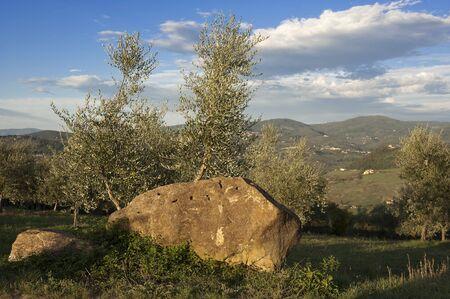 Tuscany olive tree during autumn, near Florence Stock Photo