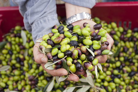 a close up of olives, ligurian olives, the name is taggiasca, olives near Imperia Stock Photo