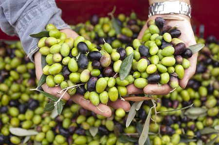 extra virgin olive oil: a close up of olives, ligurian olives, the name is taggiasca, olives near Imperia Stock Photo