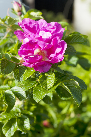 rosa: ROSA CANINA - DOG ROSE PLANT Stock Photo