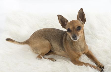 pincher: female pincher toy dog on white background