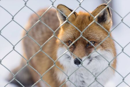 portrait of a red little fox on snow through the wire mesh, during winter