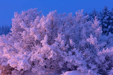 trees crystallized from the cold in Lapland during the winter