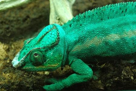 cold blooded: chameleon