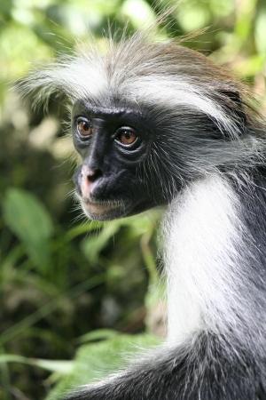 holidays vacancy: monkey zanzibar Stock Photo