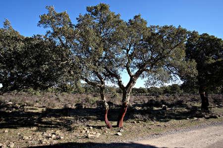 cork oaks